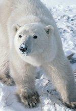 Locandina Ice Bear: Il Re dei Ghiacci  Streaming